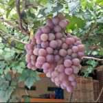 anggur import